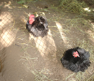 Frizzly-Chickens-at-the-Lucky-Mojo-Curio-Company