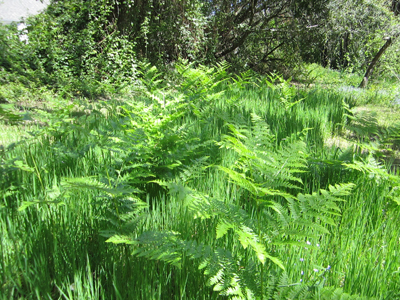 Ferns-in-the-Orchard-at-Lucky-Mojo-Curio-Company