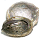 Abalone-Shell-Large-at-Lucky-Mojo-Curio-Company